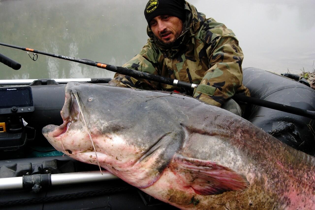 エクエス9ft3ピース怪魚/GTロッドで釣りあげられたヨーロッパオオナマズ