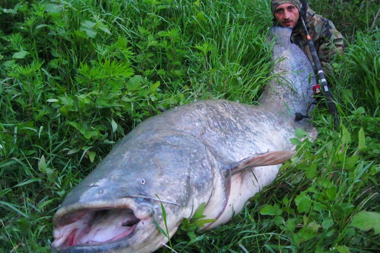 エクエス9ft3ピース怪魚/GTロッドで釣りあげられたオオナマズ