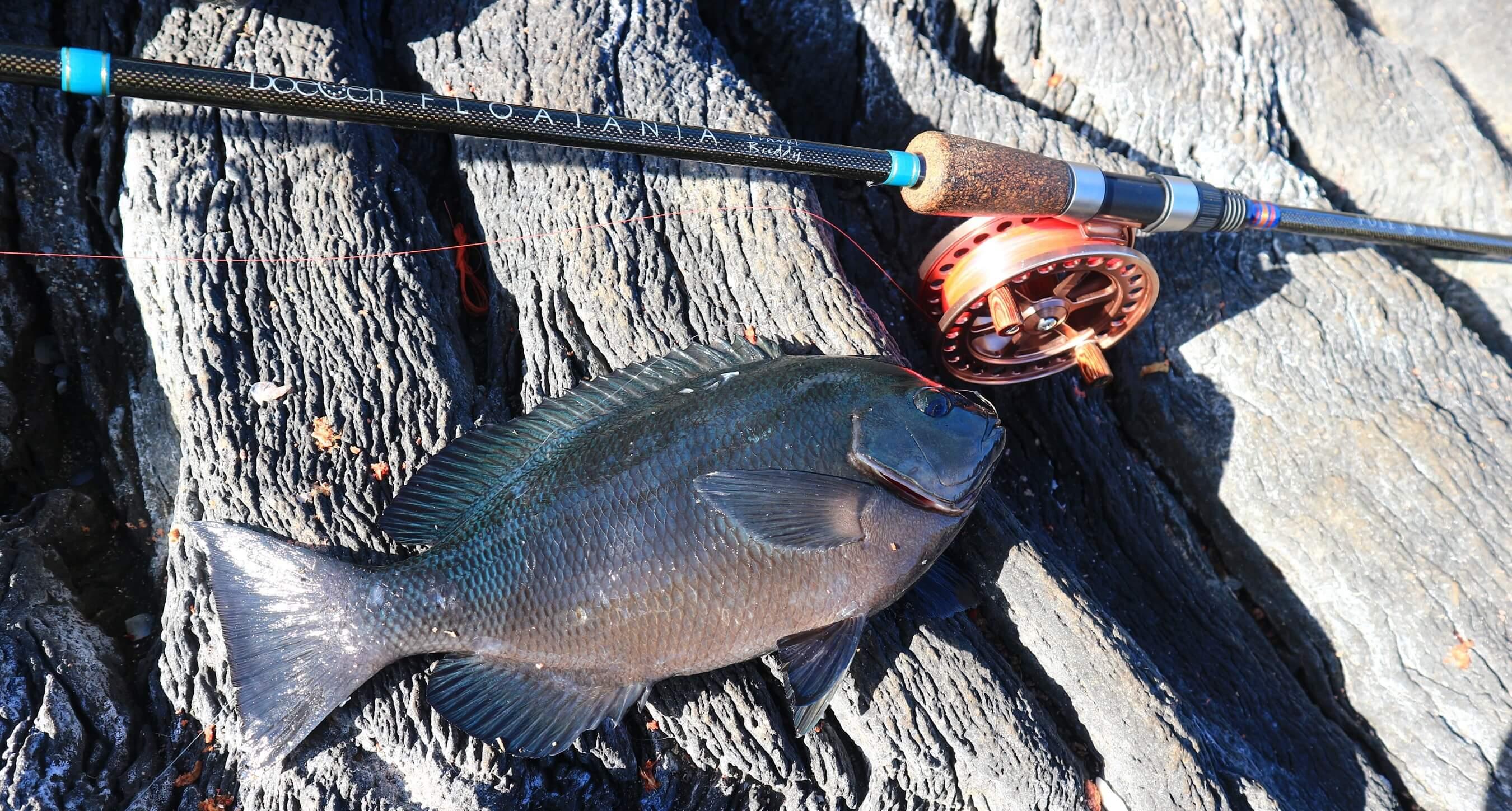 フロータニアで釣られたメジナ
