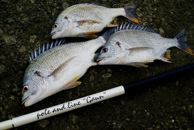 本流竿を用いた海釣り-チヌ-キビレ-スズキなどがターゲットとなる