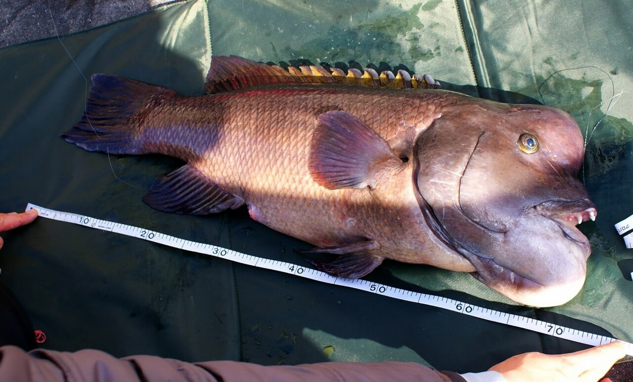 延べ竿で釣られた70cmオーバーのコブダイ